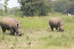 Ziwa Rhino Sanctuary - endangered species Rhino in Uganda