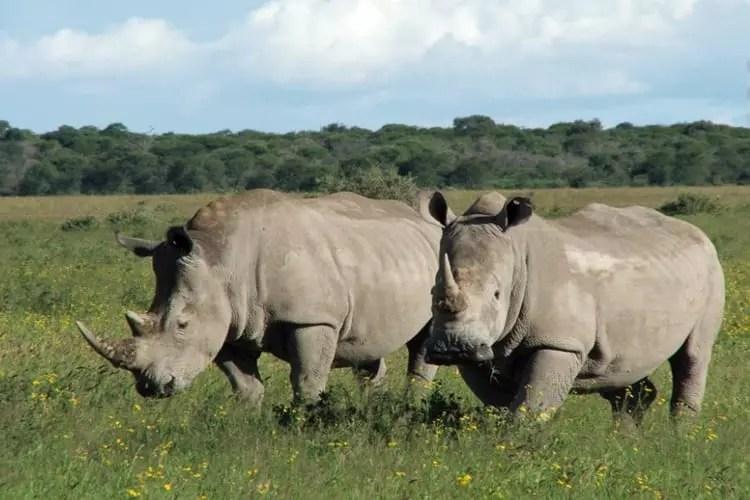 Rhinos Laikipia