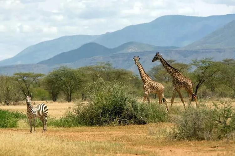 Masai Giraffe, Giraffa Camelopardalis Grant's Zebra, Equus quagga boehmi, With Nguruman escarpment in the background at Shompole Game Sanctuary on the floor of the Rift Valley near lake Magadi
