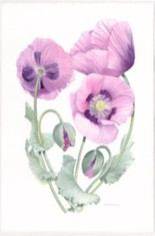 Magenta Poppies. Watercolour by Denise Schoenberg