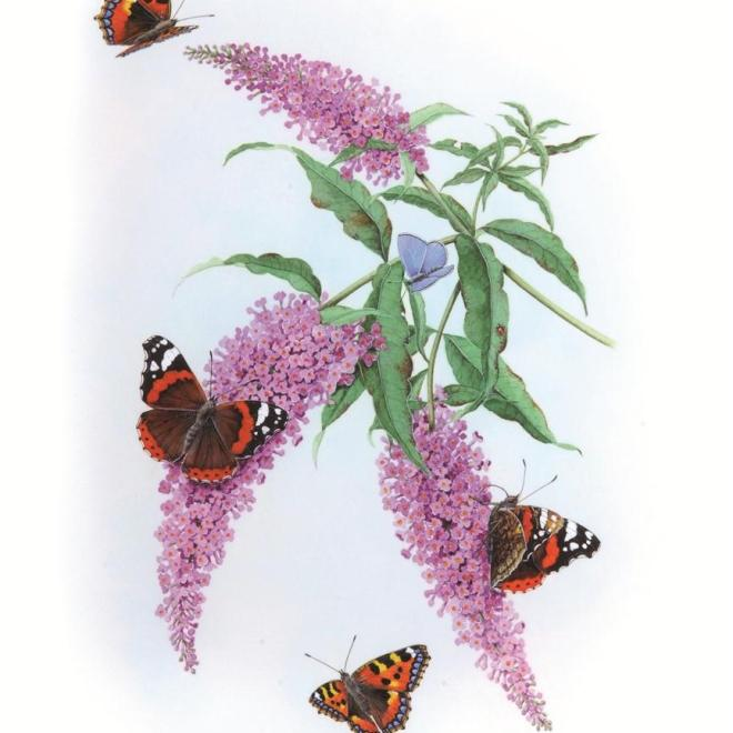 Buddleia davidii and Butterflies by Bridgette James