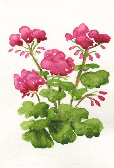 Geraniums by Sarah Haynes