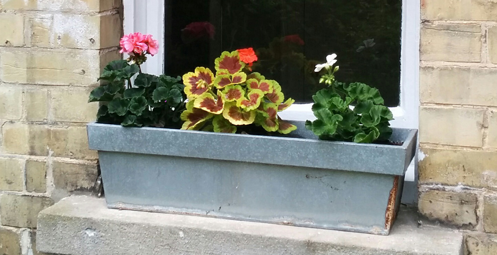 window box geraniums