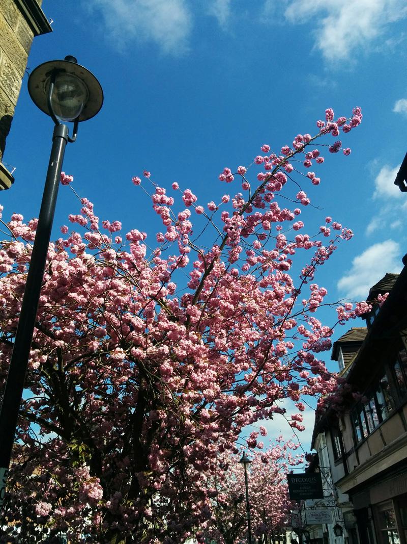 cherry blossom - An Eastbourne Diary