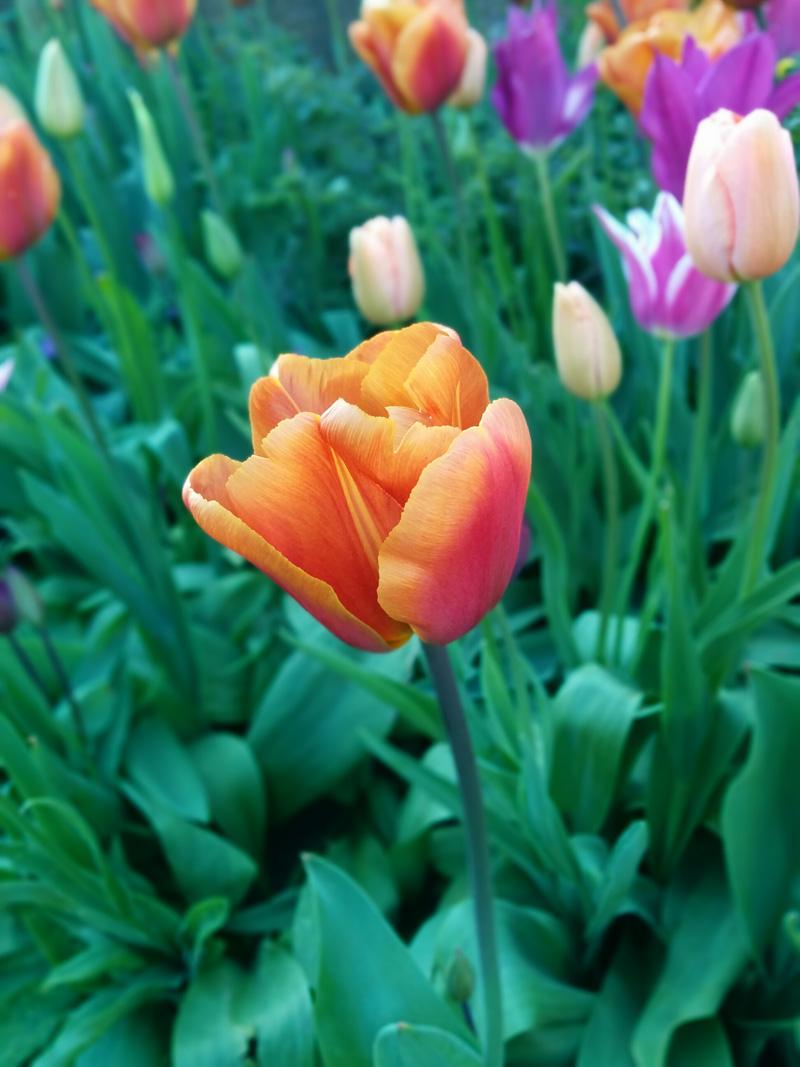 orange tulip - An Eastbourne Diary