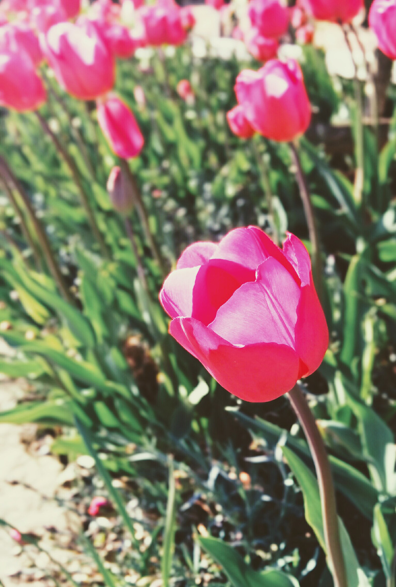 pink tulip - An Eastbourne Diary