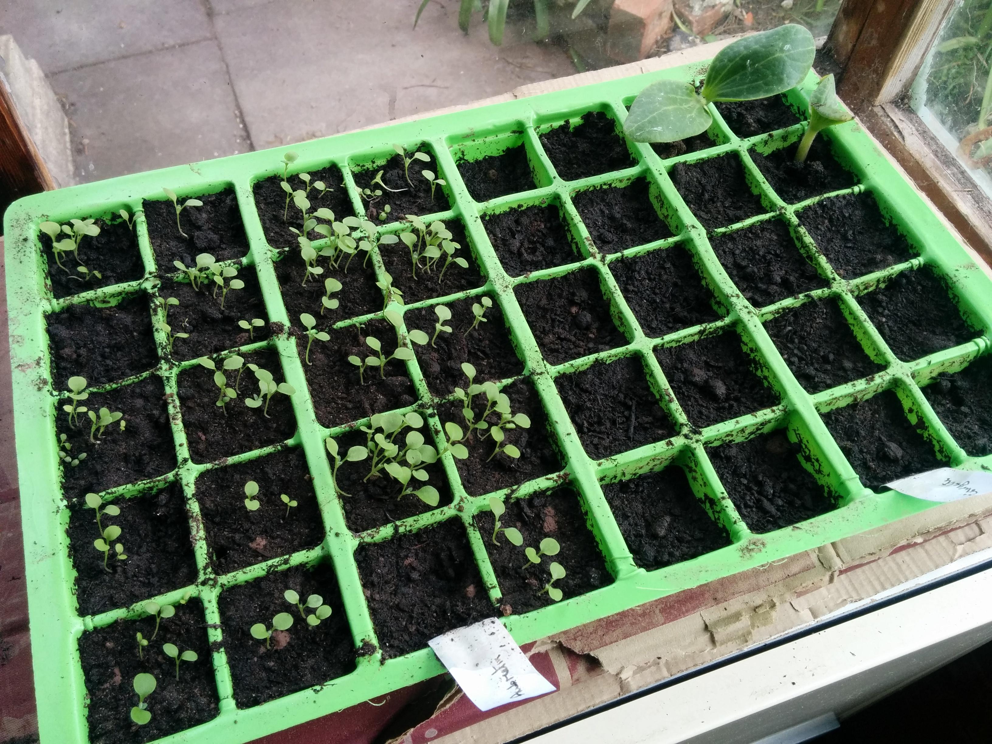 first veg seedlings
