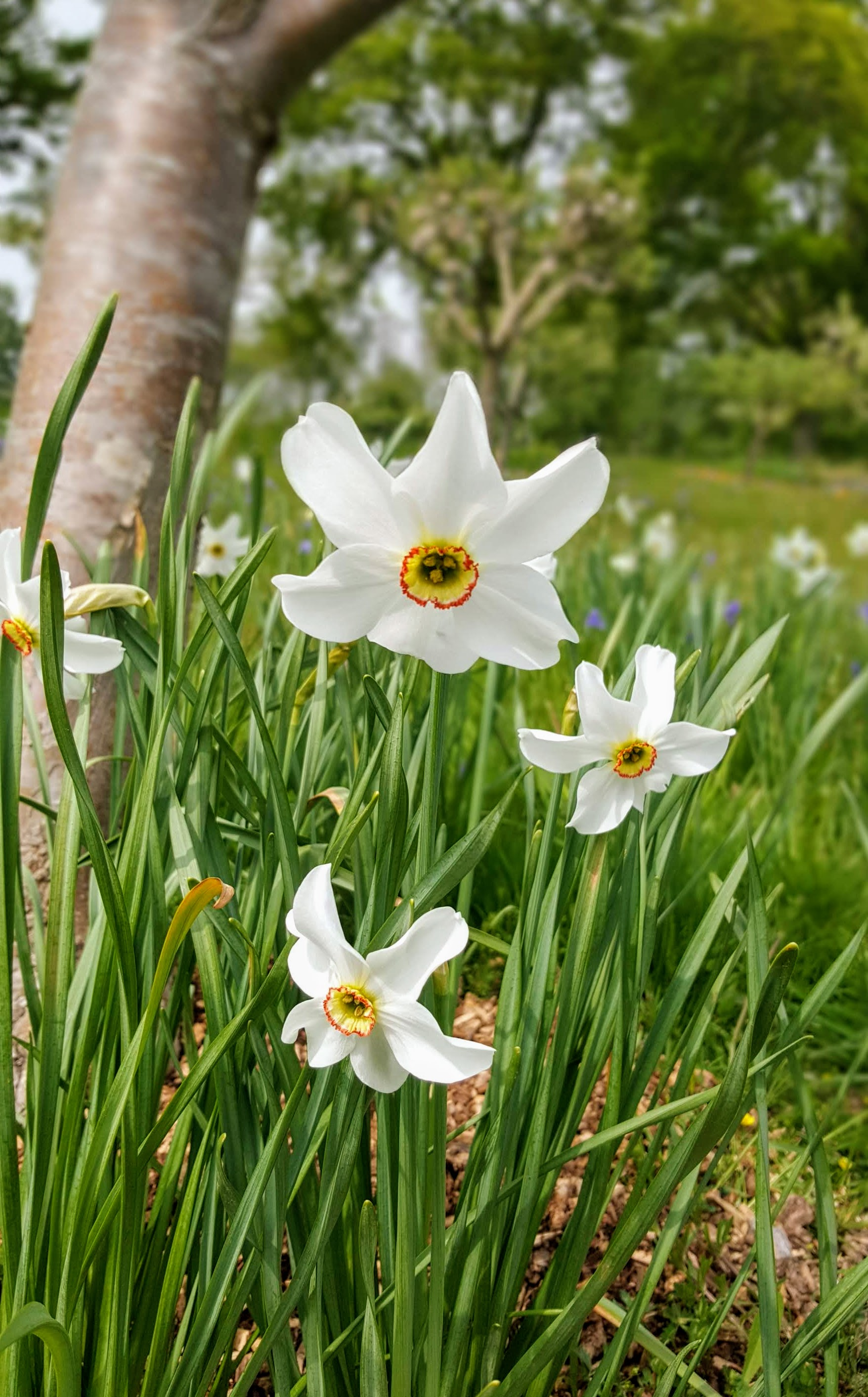 late-narcissus