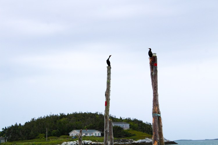 White Head Island Cormorants 2