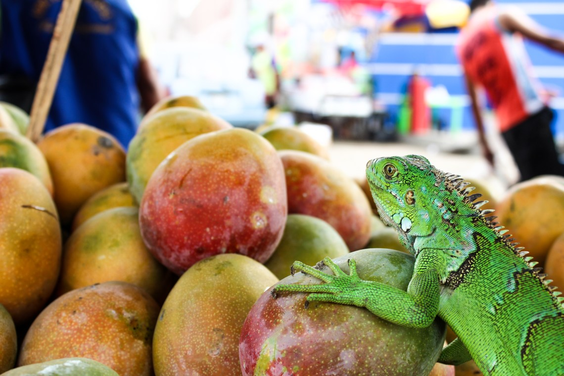Iguana at Trujillo Market