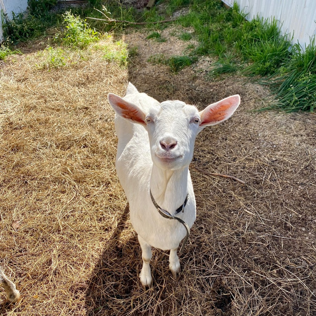 A goat at The Great Canadian Soap Company, Brackley Beach