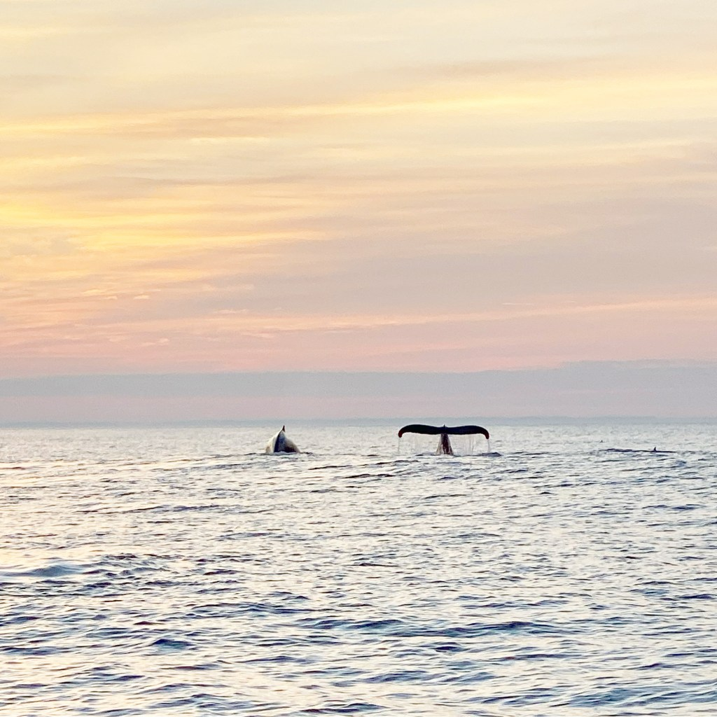 Two whales side by side in the sunrise, one with it's hump above the water and one with it's tail breaching