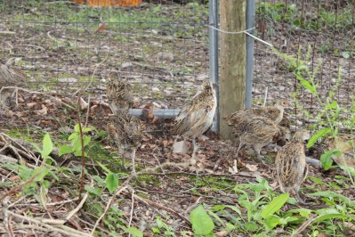 Picking away from the first moment, very relaxed pheasants