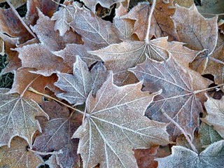 Photo of fallen leaves with frost on them