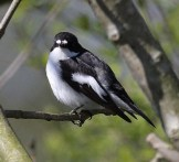 Pied Flycather image
