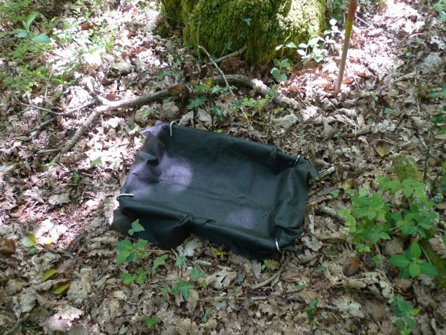 Collecting tray sitting at the base of an oak tree, for collecting caterpillar poo or frass