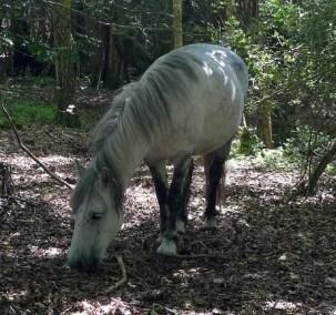 Grazing in the woods at East Dartmoor