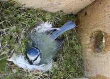 A blue tit incubating eggs - found in a dormouse nest box near the Vinnimore farmstead