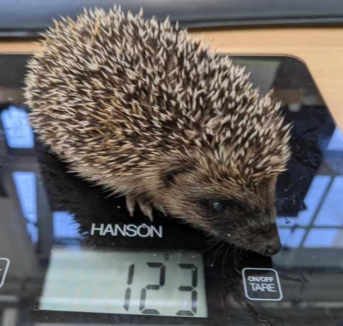 East Devon - A hedgehog which was helped by Wild Woodbury.