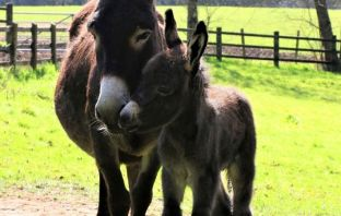 Sidmouth East Devon Foal and mum enjoying the spring sunshine. Image: The Donkey Sanctuary
