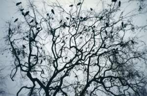 A murder of crows in a tree