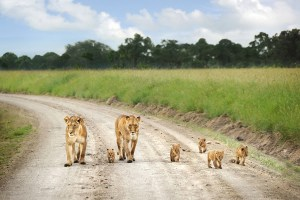 lion-family-masai-mara-kenya-eastern-vacations-tours