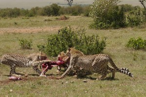 4 Days Masai Mara Lake Nakuru safari from nairobi by road