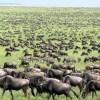 wildebeest-serengeti-tanzania-safari