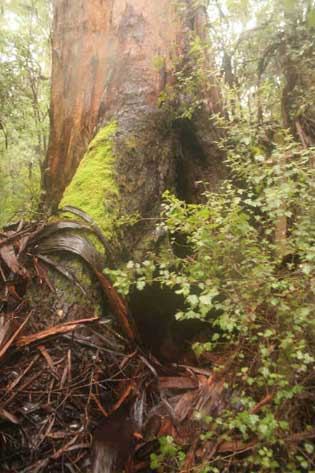 One of the giant trees subject to logging in the now-FSC-certified Northcliffe forest.