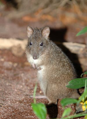 The Long nosed Potoroo (Potorous tridactylus tridactyl)
