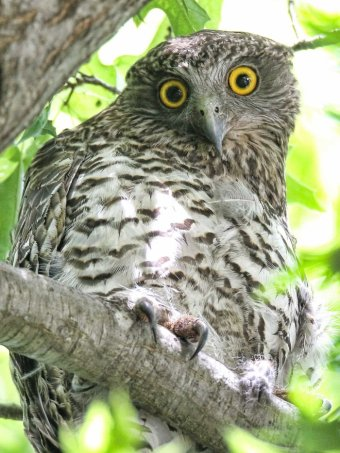 Powerful Owl in Canberra's Haig Park