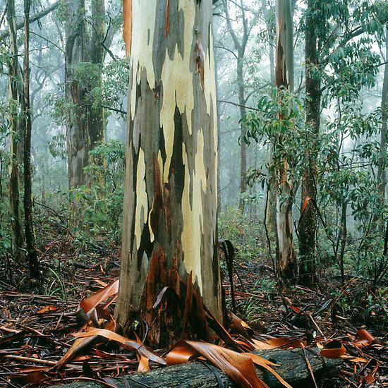Ern Mainka tree