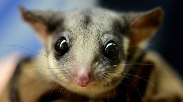 The Leadbeater's possum. Photo Justin McManus
