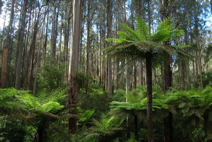 Mountain Ash forests grow in wet climates in Australia