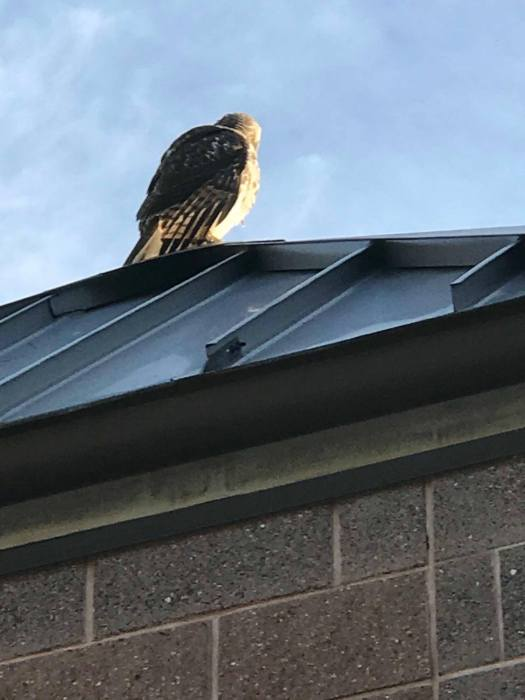 A hawk resting on Town Hall.