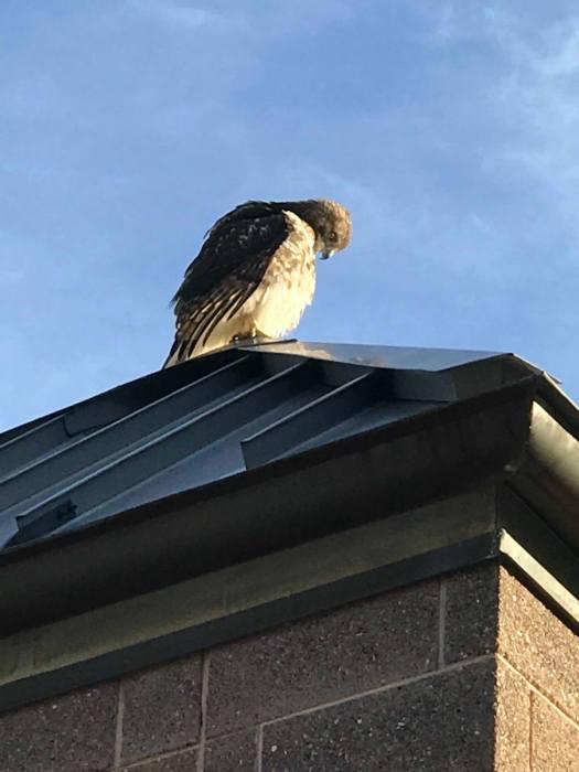 The hawk, up close