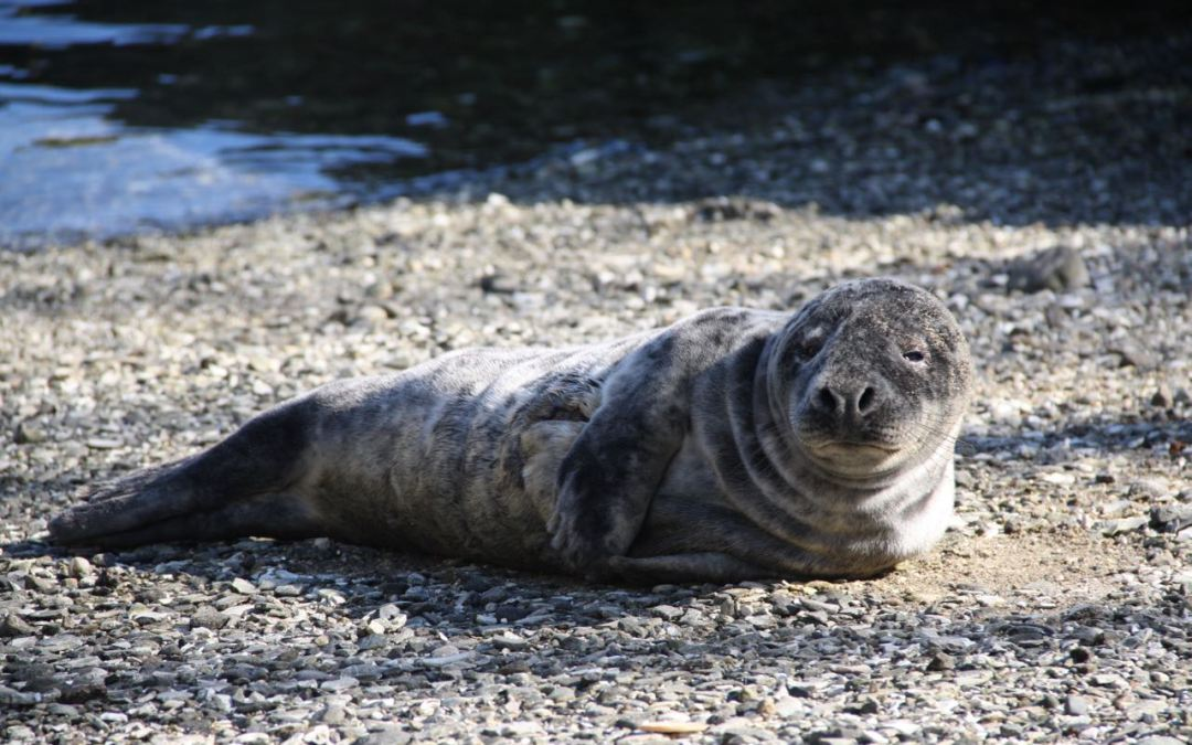 Seal Comes to Water Street; Mystic Aquarium Is Monitoring