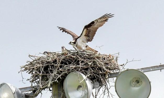The Ospreys Have Landed … at Eldredge