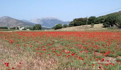 Field of wild poppies near to Ventas de Zafarraya