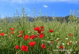 Poppies near Zafarraya
