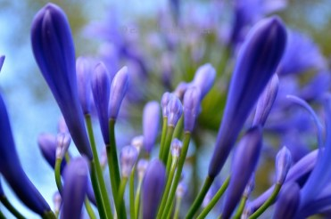 Agapanthus buds