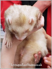Ferret petting time