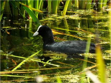 Is this a moorhen?
