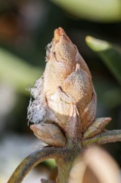 A fat rhododendron bud with a touch of snow...