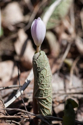 A bloodroot blossom emerging from its wrapped-tight leaves yesterday.