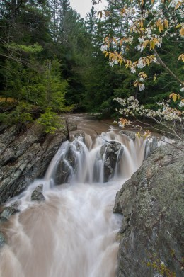 The overflow channel at Huntington Gorge flowing with muddy water--an amelanchier flowering in the foreground.