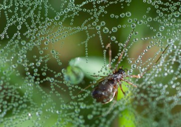 A tiny ground spider lurks in her dew-bespangled web in the grass by the pond.