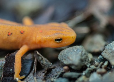 Getting personal with a red eft in the woods behind the house...