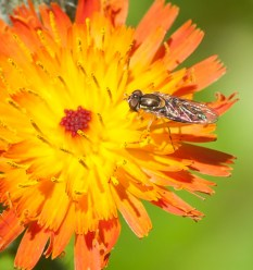 A tiny bee visits an indian paintbrush blossom.