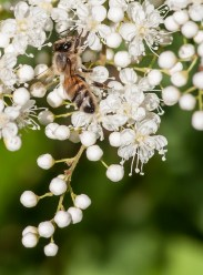 A honey bee works the ash-leaf spirea out by the pond.
